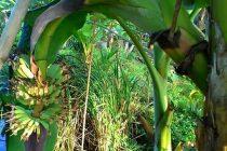 tanaman-pisang-cepat-berbuah