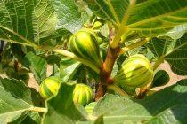 tanaman-tin-cepat-berbuah