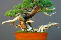 teknik-dasar-membuat-bonsai