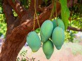 tips-pohon-mangga-cepat-berbuah