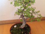 trik-memilih-bakalan-bonsai